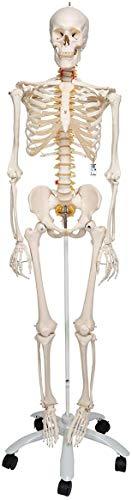 3B Scientific A15 Esqueleto, Flexible Sobre Pie Metálico con 5 Ruedas - 3B Smart Anatomy, Soporte...